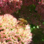 bee_on_sedum-IMG_4067