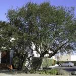 Live oak at Casa de Flores